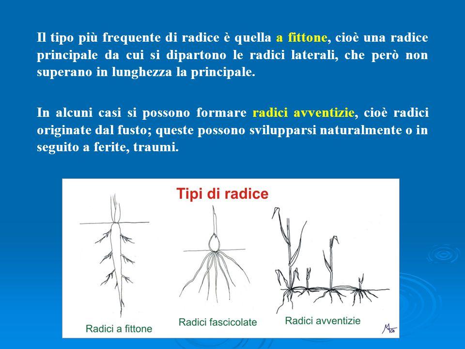 Il tipo più frequente di radice è quella a fittone, cioè una radice principale da cui si dipartono le radici laterali, che però non superano in lunghe
