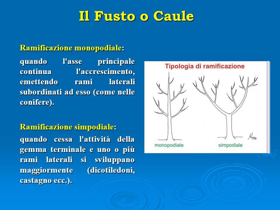 Ramificazione monopodiale: quando l'asse principale continua l'accrescimento, emettendo rami laterali subordinati ad esso (come nelle conifere). Ramif
