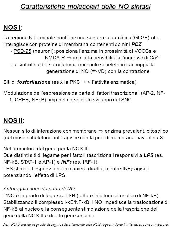 Caratteristiche molecolari delle NO sintasi NOS I: La regione N-terminale contiene una sequenza aa-cidica (GLGF) che interagisce con proteine di membrana contenenti domini PDZ: - PSD-95 (neuroni): posiziona l'enzima in prossimità di VOCCs e NMDA-R  imp.