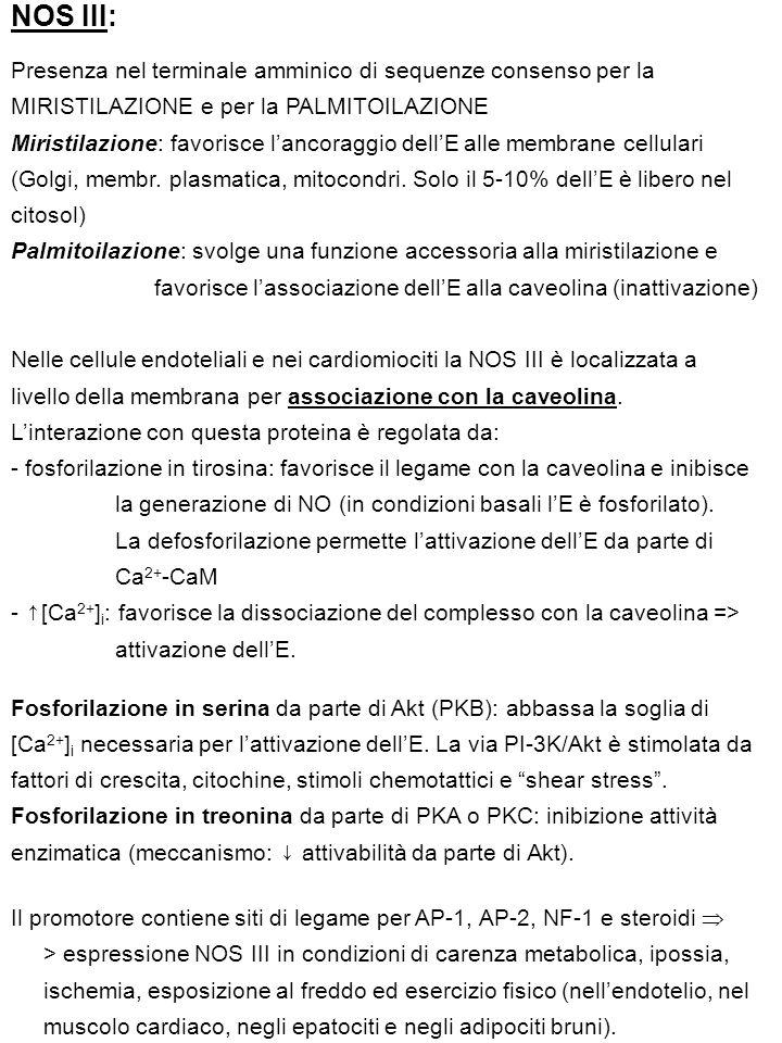 NOS III: Presenza nel terminale amminico di sequenze consenso per la MIRISTILAZIONE e per la PALMITOILAZIONE Miristilazione: favorisce l'ancoraggio dell'E alle membrane cellulari (Golgi, membr.