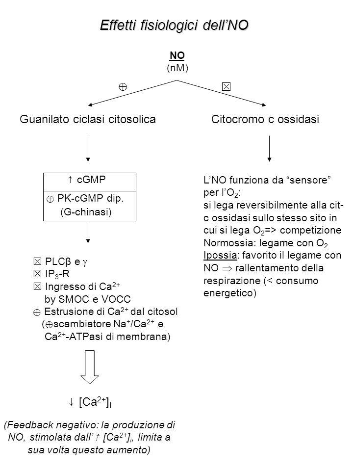 Effetti fisiologici dell'NO NO (nM) Guanilato ciclasi citosolicaCitocromo c ossidasi ⊕  ↑ cGMP ⊕ PK-cGMP dip.