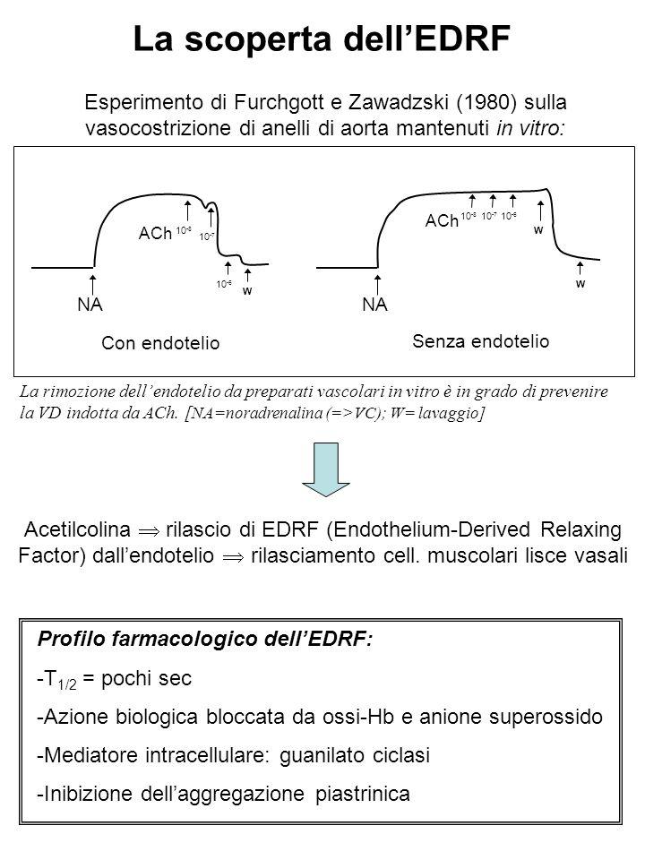 La scoperta dell'EDRF NA ACh 10 -8 10 -7 NA ACh 10 -8 10 -7 10 -6 W W W Con endotelio Senza endotelio Esperimento di Furchgott e Zawadzski (1980) sulla vasocostrizione di anelli di aorta mantenuti in vitro: Acetilcolina  rilascio di EDRF (Endothelium-Derived Relaxing Factor) dall'endotelio  rilasciamento cell.