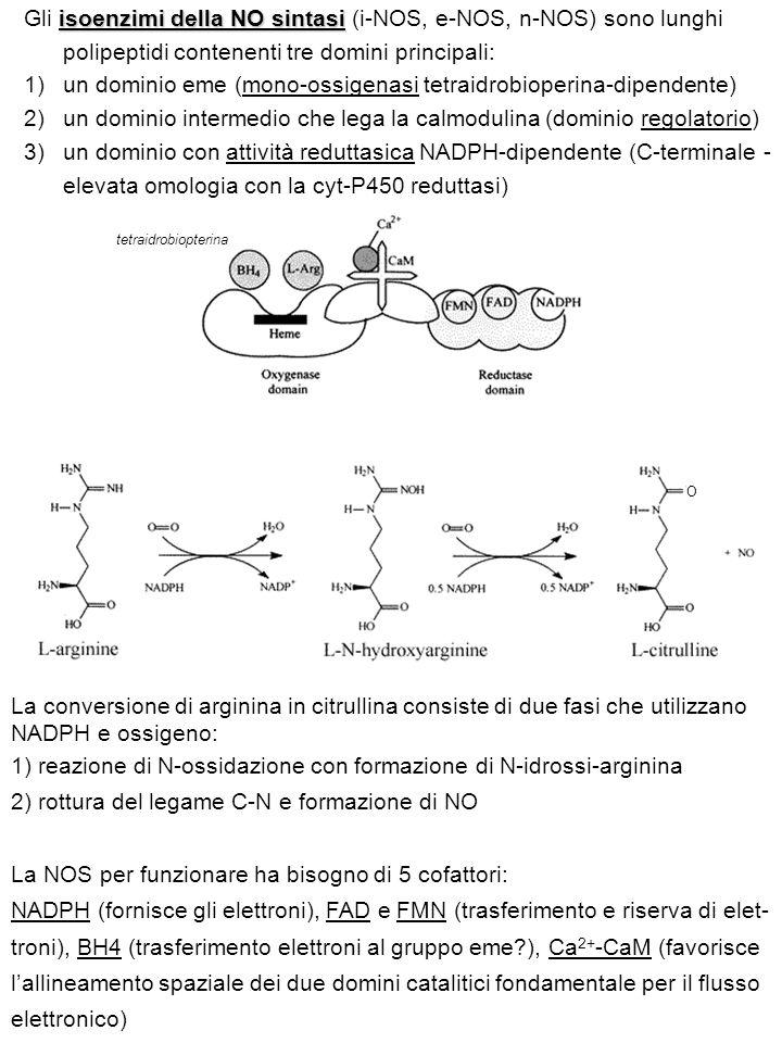 O tetraidrobiopterina isoenzimi della NO sintasi Gli isoenzimi della NO sintasi (i-NOS, e-NOS, n-NOS) sono lunghi polipeptidi contenenti tre domini principali: 1)un dominio eme (mono-ossigenasi tetraidrobioperina-dipendente) 2)un dominio intermedio che lega la calmodulina (dominio regolatorio) 3)un dominio con attività reduttasica NADPH-dipendente (C-terminale - elevata omologia con la cyt-P450 reduttasi) La conversione di arginina in citrullina consiste di due fasi che utilizzano NADPH e ossigeno: 1) reazione di N-ossidazione con formazione di N-idrossi-arginina 2) rottura del legame C-N e formazione di NO La NOS per funzionare ha bisogno di 5 cofattori: NADPH (fornisce gli elettroni), FAD e FMN (trasferimento e riserva di elet- troni), BH4 (trasferimento elettroni al gruppo eme?), Ca 2+ -CaM (favorisce l'allineamento spaziale dei due domini catalitici fondamentale per il flusso elettronico)