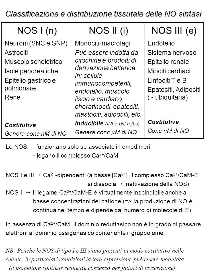 NOS I (n)NOS II (i)NOS III (e) Neuroni (SNC e SNP) Astrociti Muscolo scheletrico Isole pancreatiche Epitelio gastrico e polmonare Rene Costitutiva Genera conc nM di NO Monociti-macrofagi Può essere indotta da citochine e prodotti di derivazione batterica in: cellule immunocompetenti, endotelio, muscolo liscio e cardiaco, cheratinociti, epatociti, mastociti, adipociti, etc.