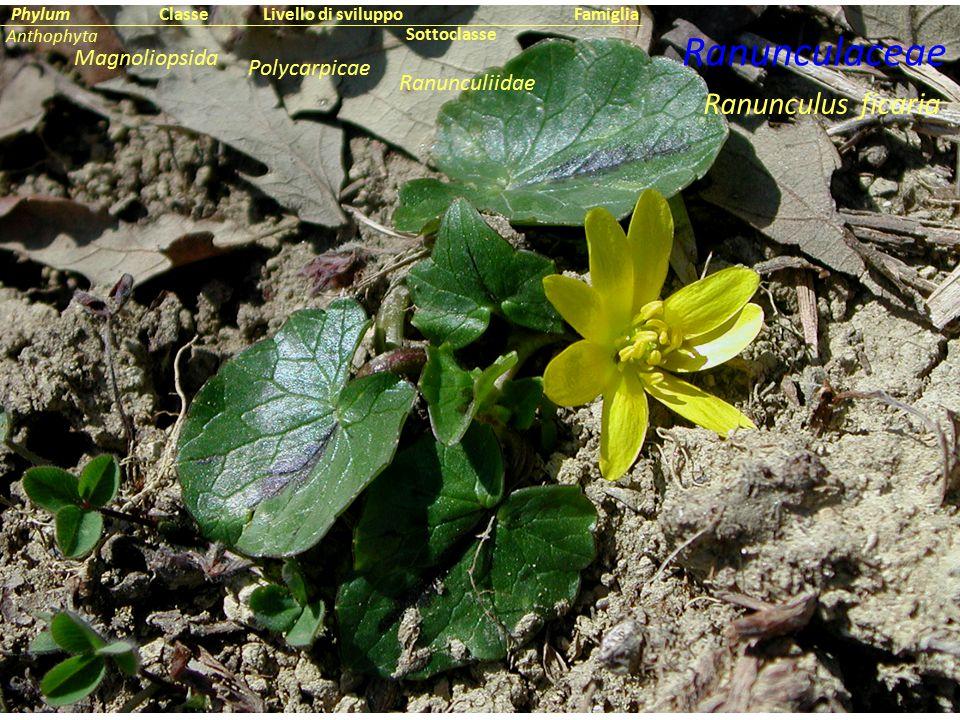 Ranunculus ficaria Ranunculaceae Sottoclasse ClassePhylumFamiglia Anthophyta Magnoliopsida Ranunculiidae Livello di sviluppo Polycarpicae