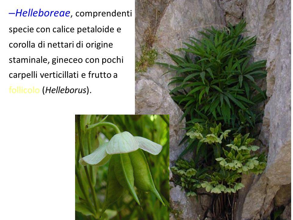 – Helleboreae, comprendenti specie con calice petaloide e corolla di nettari di origine staminale, gineceo con pochi carpelli verticillati e frutto a follicolo (Helleborus).
