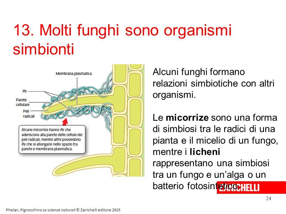 13. Molti funghi sono organismi simbionti 24 Phelan, Pignocchino Le scienze naturali © Zanichelli editore 2015 Alcuni funghi formano relazioni simbiot