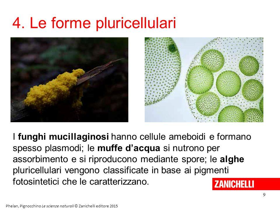 4. Le forme pluricellulari 9 Phelan, Pignocchino Le scienze naturali © Zanichelli editore 2015 I funghi mucillaginosi hanno cellule ameboidi e formano