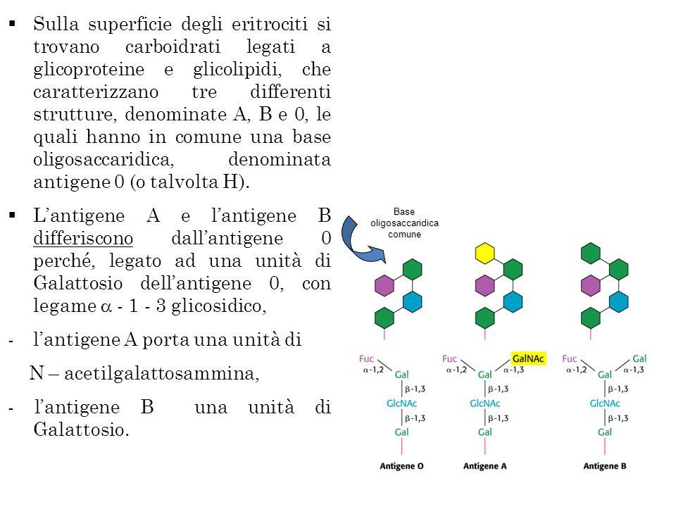  Sulla superficie degli eritrociti si trovano carboidrati legati a glicoproteine e glicolipidi, che caratterizzano tre differenti strutture, denominate A, B e 0, le quali hanno in comune una base oligosaccaridica, denominata antigene 0 (o talvolta H).