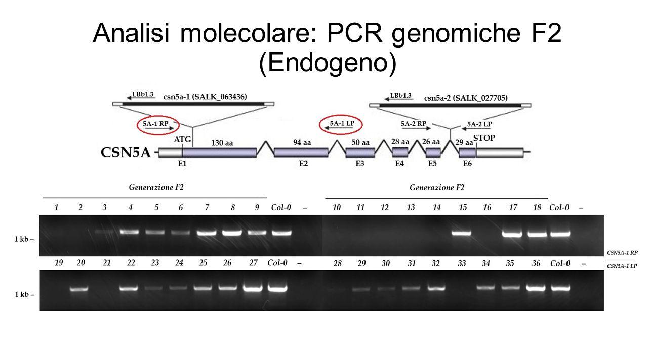 Analisi molecolare: PCR genomiche F2 (Endogeno)