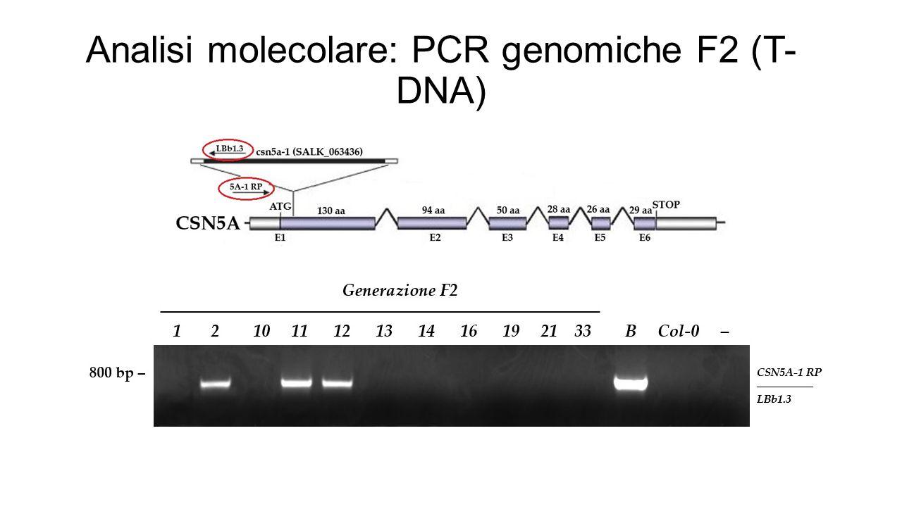 Analisi molecolare: PCR genomiche F2 (T- DNA)