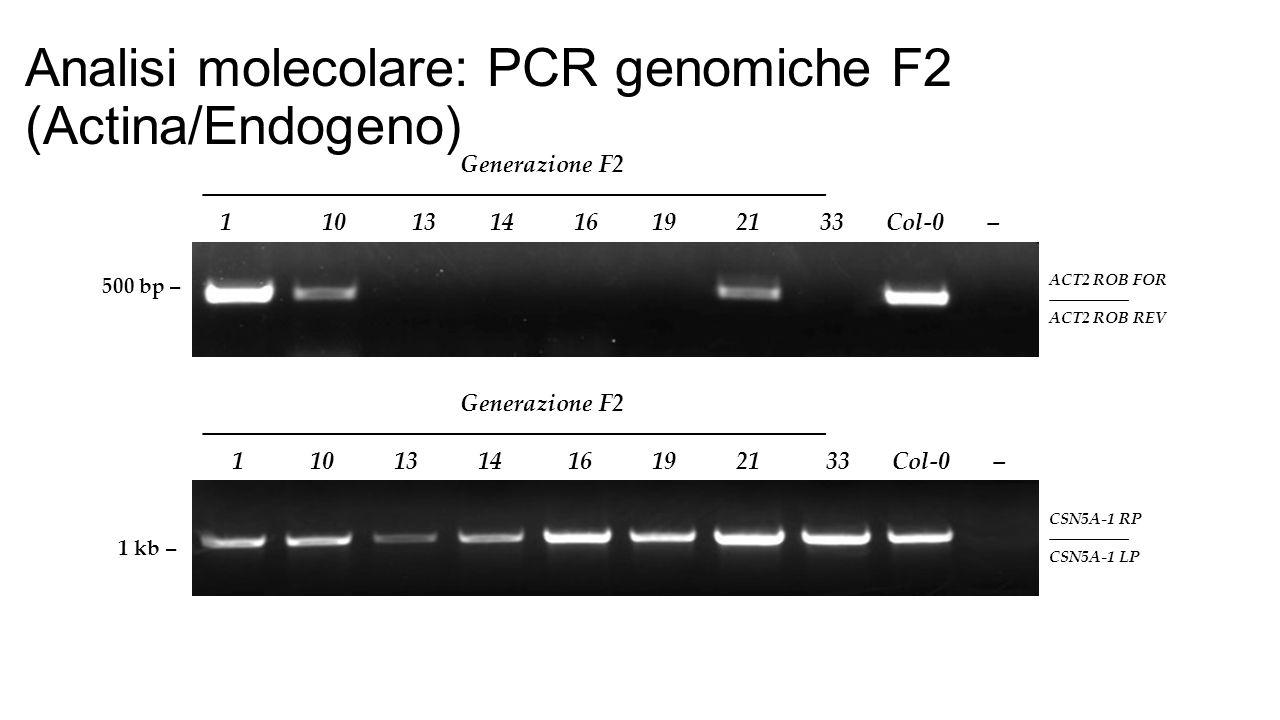 500 bp – Generazione F2 ―――――――――――――――――――――――――― 1 10 13 14 16 19 21 33 Col-0 – ACT2 ROB FOR ――――― ACT2 ROB REV Analisi molecolare: PCR genomiche F2