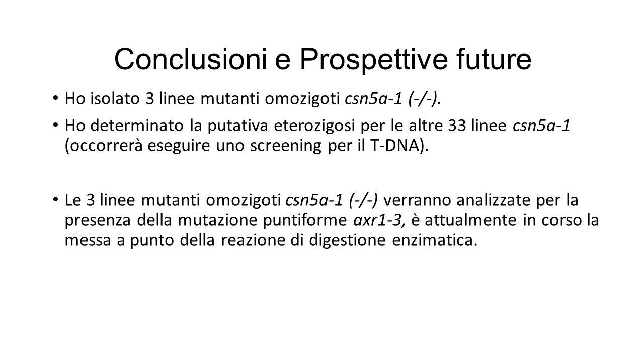 Conclusioni e Prospettive future Ho isolato 3 linee mutanti omozigoti csn5a-1 (-/-). Ho determinato la putativa eterozigosi per le altre 33 linee csn5
