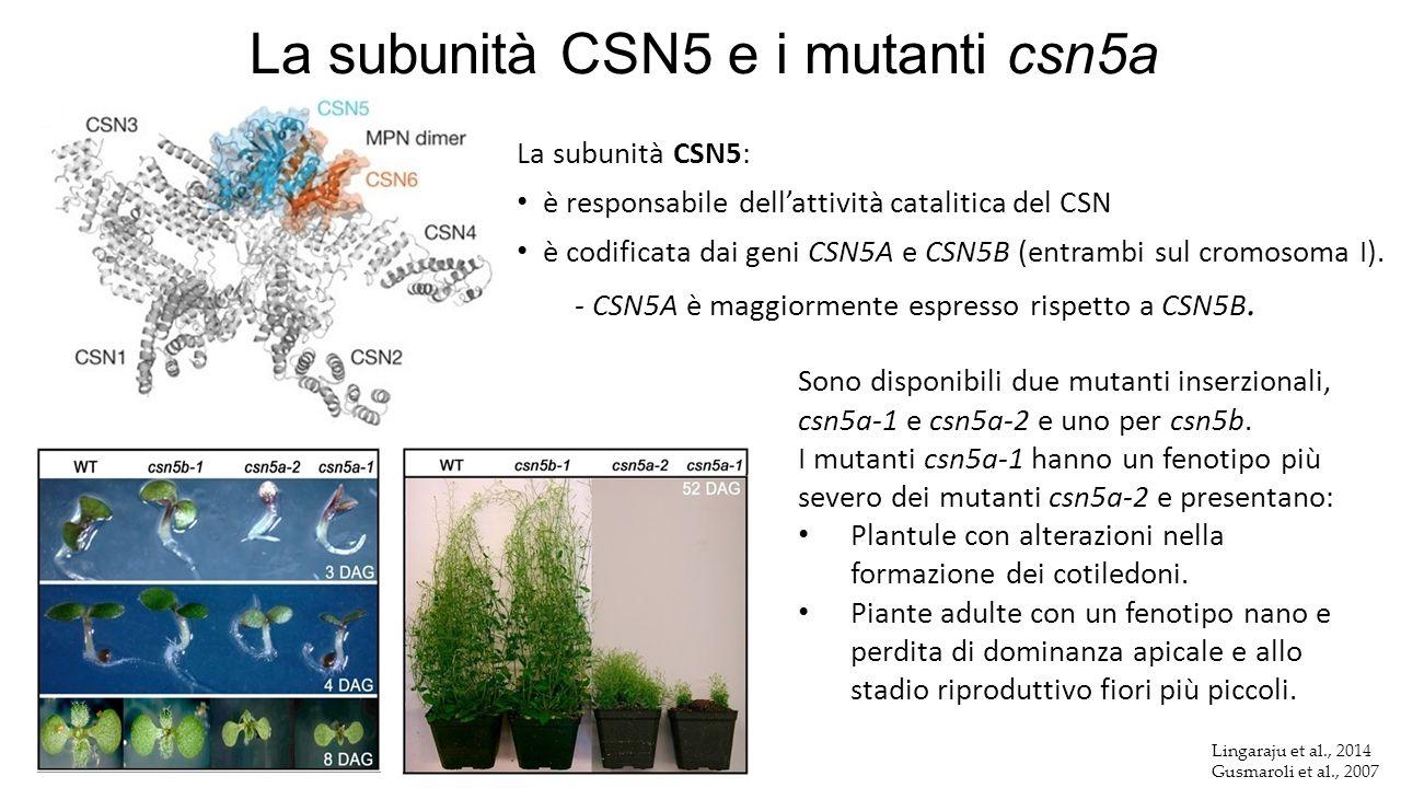 Lingaraju et al., 2014 Gusmaroli et al., 2007 La subunità CSN5 e i mutanti csn5a La subunità CSN5: è responsabile dell'attività catalitica del CSN è c
