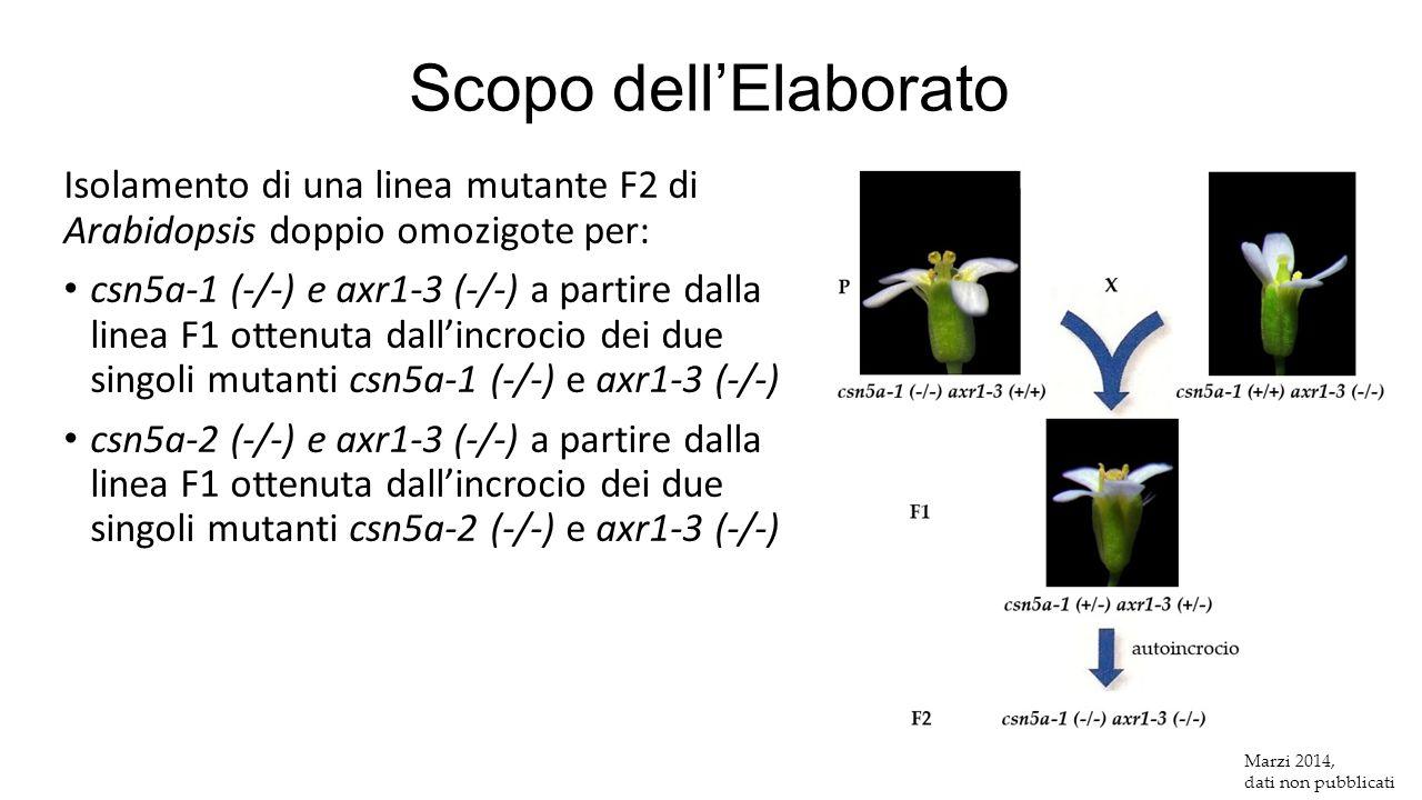 Scopo dell'Elaborato Isolamento di una linea mutante F2 di Arabidopsis doppio omozigote per: csn5a-1 (-/-) e axr1-3 (-/-) a partire dalla linea F1 ott