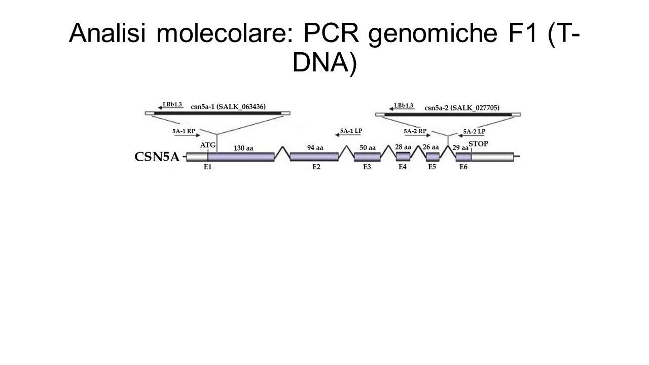 Analisi molecolare: PCR genomiche F1 (T- DNA)