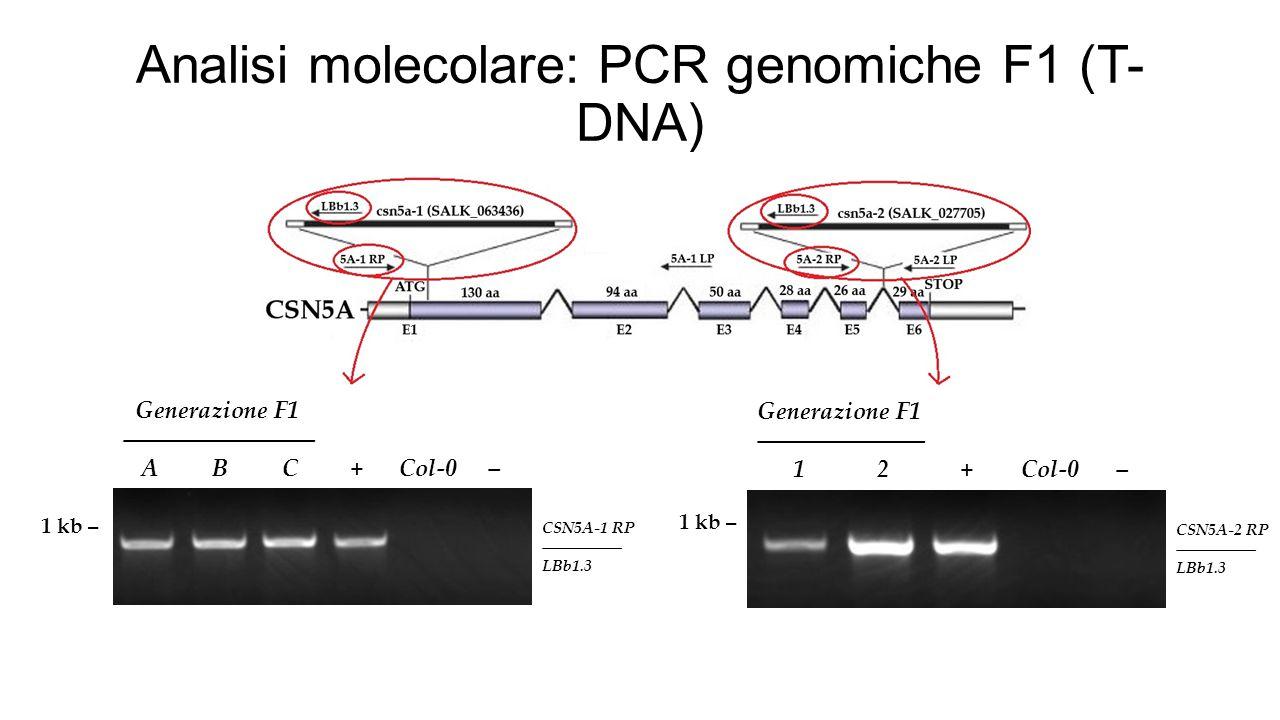 Analisi molecolare: PCR genomiche F1 (T- DNA) 1 kb – Generazione F1 ―――――――― A B C + Col-0 – CSN5A-1 RP ――――― LBb1.3 1 kb – Generazione F1 ――――――― 1 2