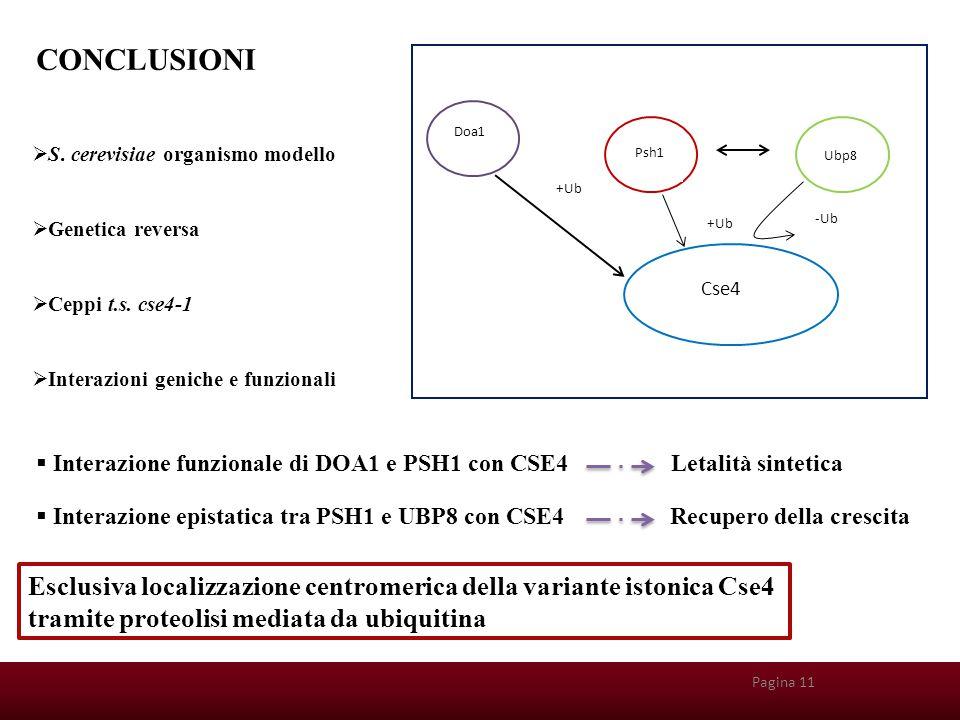 Pagina 212 Pagina 11 Doa1 Psh1 Ubp8 Cse4 +Ub -Ub +Ub CONCLUSIONI  S. cerevisiae organismo modello  Genetica reversa  Ceppi t.s. cse4-1  Interazion