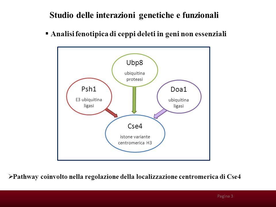 Pagina 25 Background genetico dei ceppi  w303 wild type  cse4-1 temperatura sensibile  CSE4: gene essenziale 28°C 35°C  cse4-1,  psh1  cse4-1,  ubp8  cse4-1,  doa1  cse4-1,  psh1  ubp8  cse4-1,  doa1/  psh1  cse4-1,  doa1/  ubp8 Pagina 4  PSH1, UBP8, DOA1: geni non essenziali Disruption genica