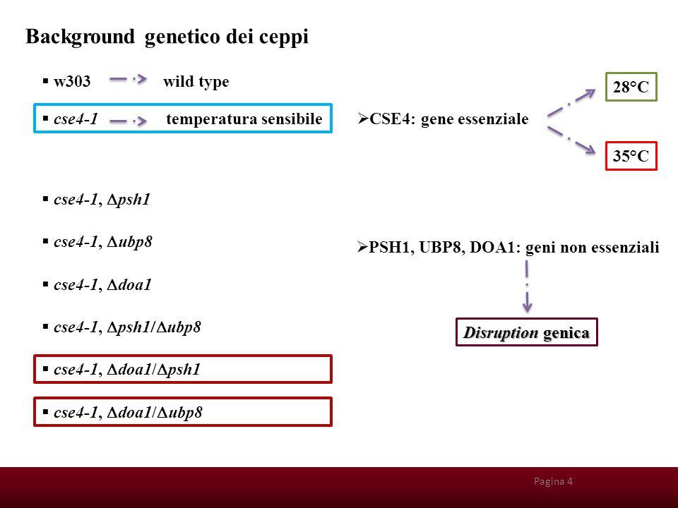 Pagina 25 Background genetico dei ceppi  w303 wild type  cse4-1 temperatura sensibile  CSE4: gene essenziale 28°C 35°C  cse4-1,  psh1  cse4-1, 