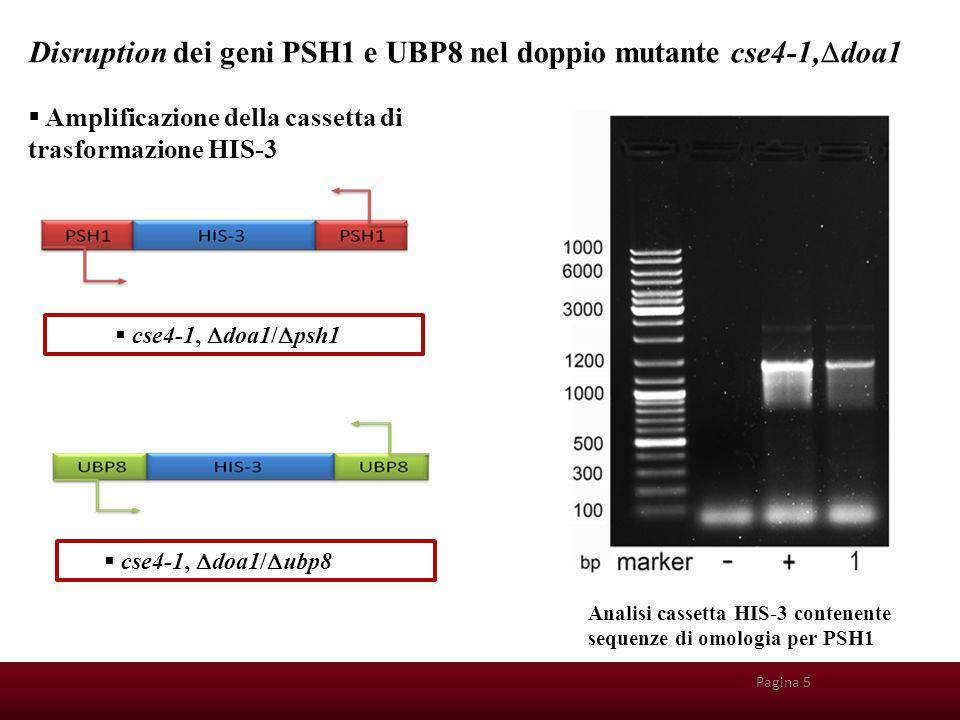 Pagina 26 Disruption dei geni PSH1 e UBP8 nel doppio mutante cse4-1,  doa1  cse4-1,  doa1/  ubp8  cse4-1,  doa1/  psh1 Pagina 5 Analisi cassett