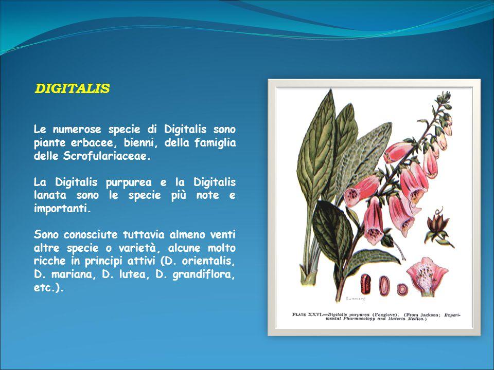 DIGITALIS Le numerose specie di Digitalis sono piante erbacee, bienni, della famiglia delle Scrofulariaceae.