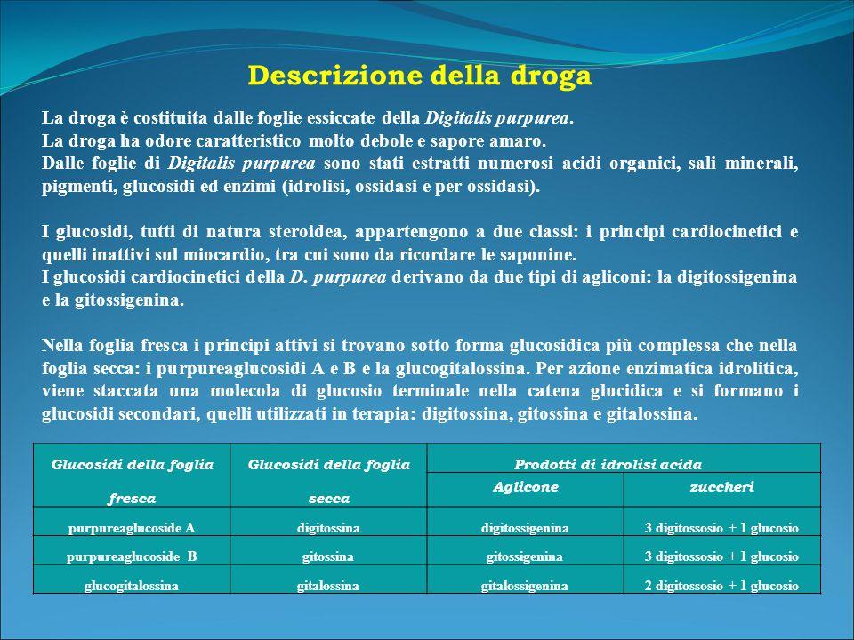 Glucosidi della foglia fresca Glucosidi della foglia secca Prodotti di idrolisi acida Agliconezuccheri purpureaglucoside Adigitossinadigitossigenina3 digitossosio + 1 glucosio purpureaglucoside Bgitossinagitossigenina3 digitossosio + 1 glucosio glucogitalossinagitalossinagitalossigenina2 digitossosio + 1 glucosio Descrizione della droga La droga è costituita dalle foglie essiccate della Digitalis purpurea.