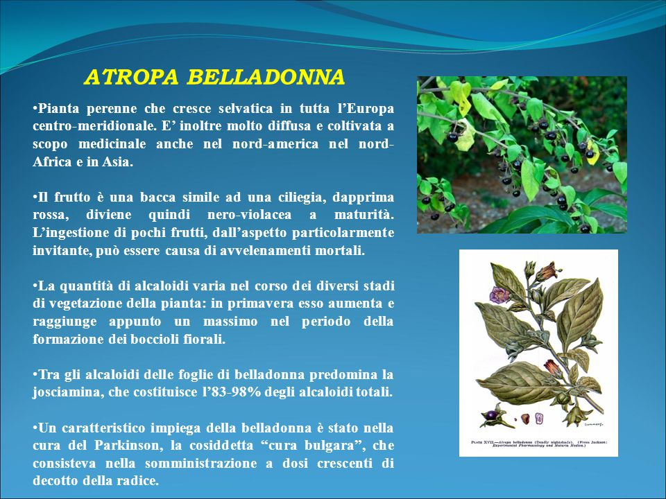 ATROPA BELLADONNA Pianta perenne che cresce selvatica in tutta l'Europa centro-meridionale.