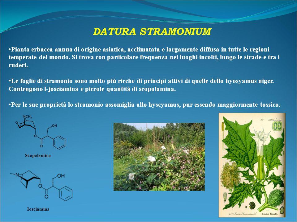 DATURA STRAMONIUM Pianta erbacea annua di origine asiatica, acclimatata e largamente diffusa in tutte le regioni temperate del mondo.