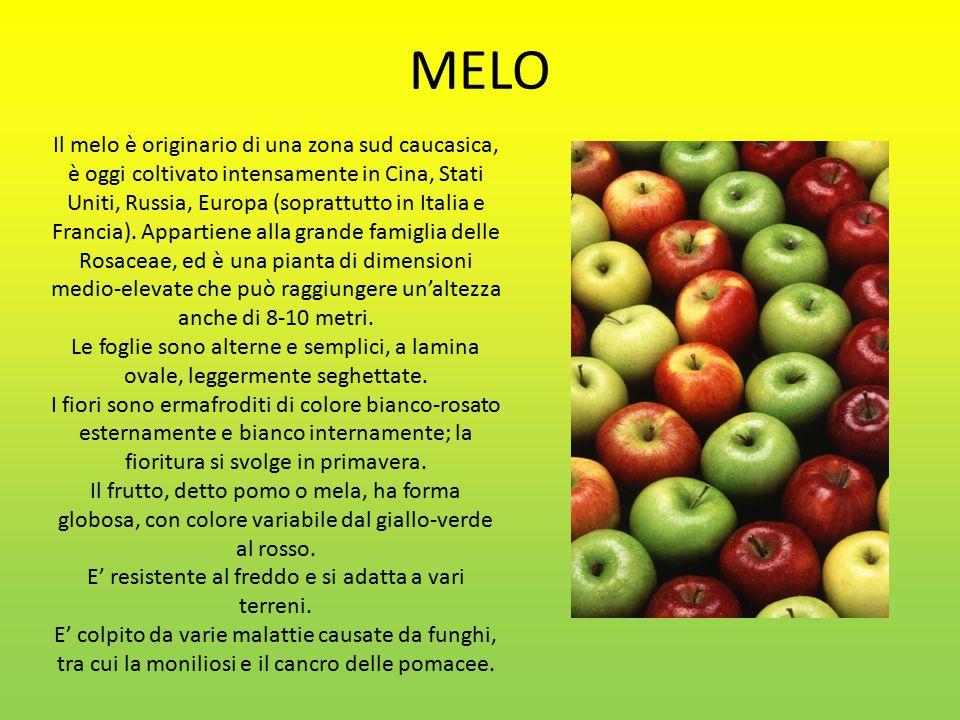 MELO Il melo è originario di una zona sud caucasica, è oggi coltivato intensamente in Cina, Stati Uniti, Russia, Europa (soprattutto in Italia e Francia).