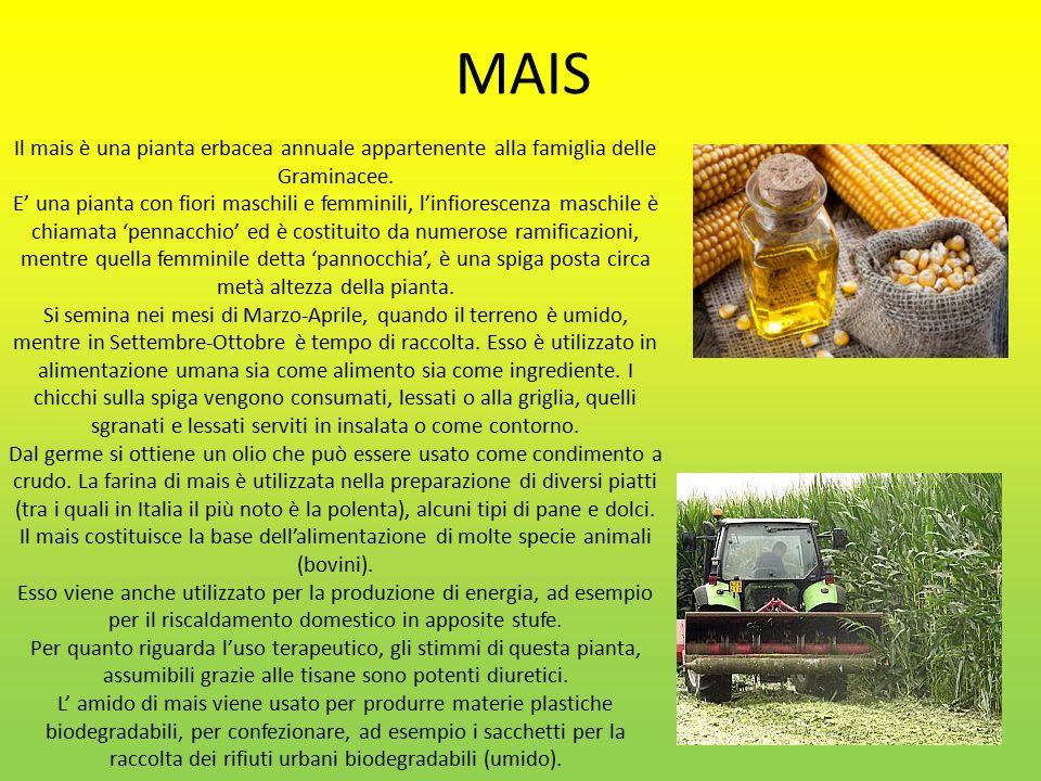 MAIS Il mais è una pianta erbacea annuale appartenente alla famiglia delle Graminacee.