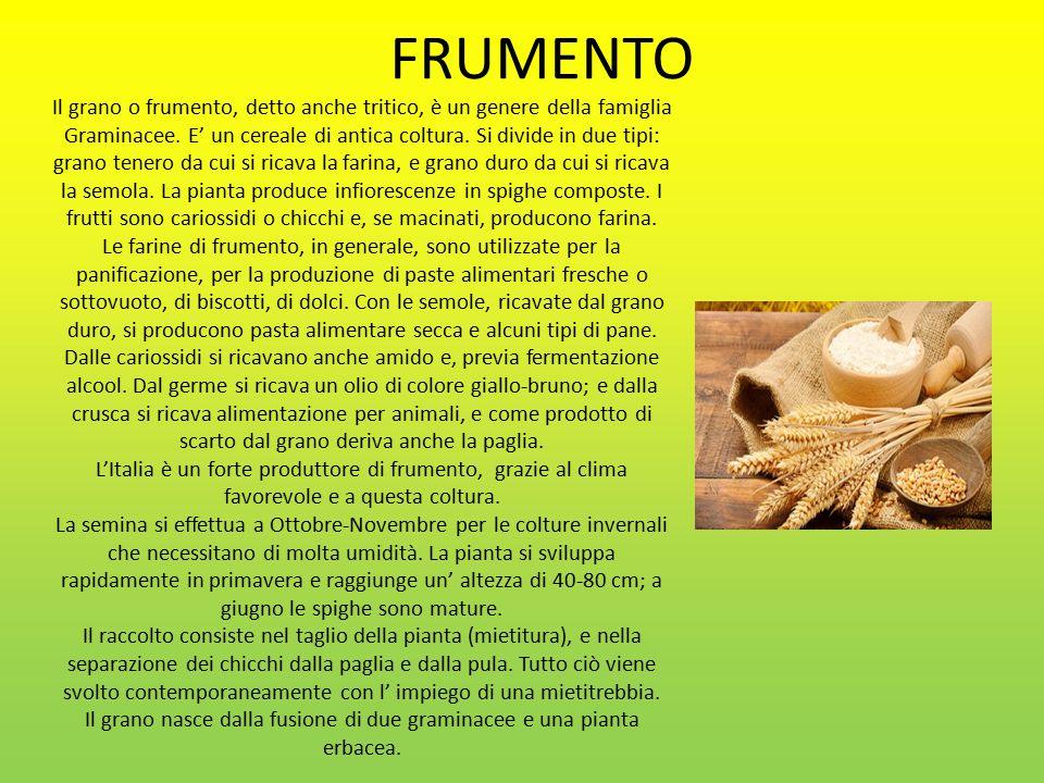 FRUMENTO Il grano o frumento, detto anche tritico, è un genere della famiglia Graminacee.