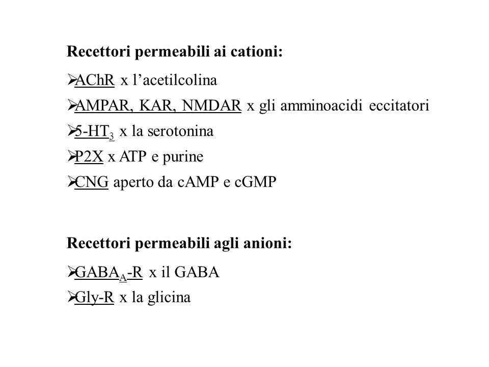 ORGANIZZAZIONE MOLECOLARE DEI RECETTORI-CANALE Proteine oligomeriche transmembranarie (3, 4 o 5 subunità) con un singolo piano di simmetria rotazionale perpendicolare al piano della membrana dove sono inseriti Sulla base della topologia delle subunità si distinguono 4 classi di recettori-canale: 1) Famiglia dei recettori nicotinici 2) Recettori del glutammato 3) Recettori dei nucleotidi ciclici cGMP e cAMP 4) Recettori ionotropici dell'ATP P2X