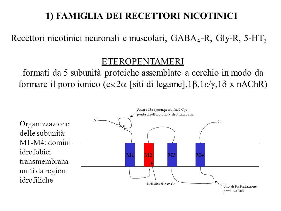 Recettori ionotropici del glutammato: AMPA, Kainato e NMDA 2) RECETTORI DEL GLUTAMMATO TETRAMERI Formati da 4 subunità identiche (omooligomeri) o diverse (eterooligomeri) N M1 M3M2M4 C Larga regione N terminale Delimita il canale.