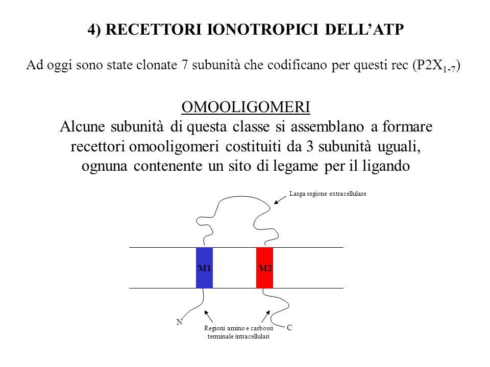 ORGANIZZAZIONE MOLECOLARE DEL nAChR muscolare Complesso di 5 subunità glicoproteiche-PM ~ 300kDa Parte extracell a forma di imbuto x concentrare gli ioni destinati ad attraversare il canale Restringimento: poro selettivo: aa carichi negativamente disposti ad anello Porzione intracellulare: Siti di fosforilazione Siti di ancoraggio al citoscheletro