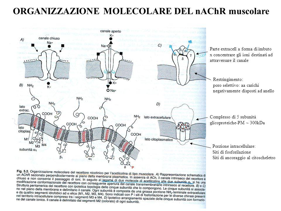 nAChR: SITI DI LEGAME PER IL LIGANDO ENDOGENO Subunità  Cys 192-193:coinvolte nella formazione del sito di legame di AG e AT Tirosina 93-Triptofano 86 (ansa A) Triptofano 149-Tirosina 151 (ansa B) Tirosina 190-Tirosina 198 (ansa C) Delimitano la tasca dove si lega il neurotrasmettitore Anche residui presenti nelle subunità  e  adiacenti alle subunità , contribuiscono al sito di legame dell'Ach IPOTESI: L'ACh si lega con la coda alle anse A, B e C e con la testa cationica dell'ammonio quaternario ad un sito anionico nelle subunità  o .