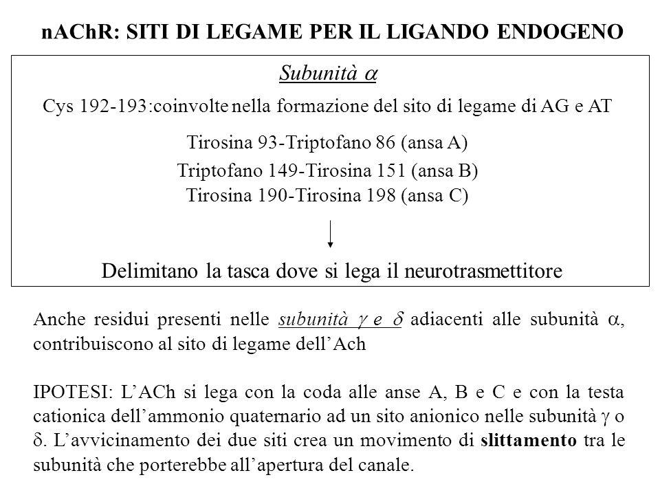 nAChR: SITI DI LEGAME PER IL LIGANDO ENDOGENO Subunità  Cys 192-193:coinvolte nella formazione del sito di legame di AG e AT Tirosina 93-Triptofano 8