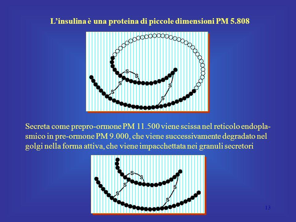 13 L'insulina è una proteina di piccole dimensioni PM 5.808 Secreta come prepro-ormone PM 11.500 viene scissa nel reticolo endopla- smico in pre-ormone PM 9.000, che viene successivamente degradato nel golgi nella forma attiva, che viene impacchettata nei granuli secretori