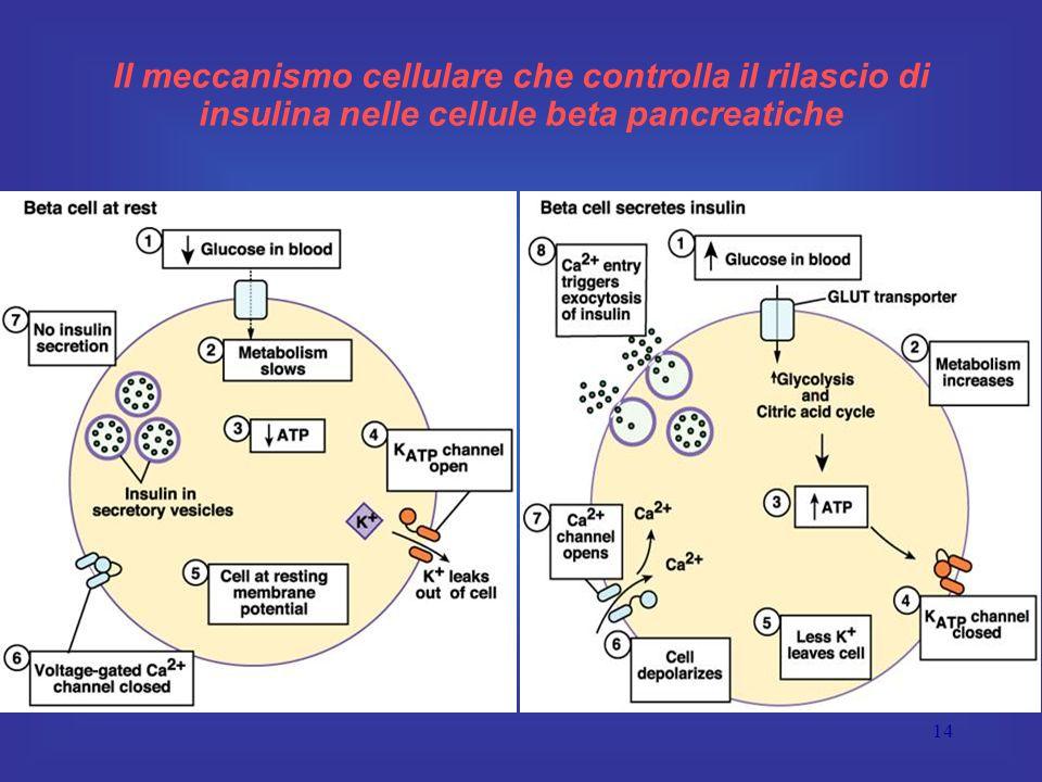 14 Il meccanismo cellulare che controlla il rilascio di insulina nelle cellule beta pancreatiche