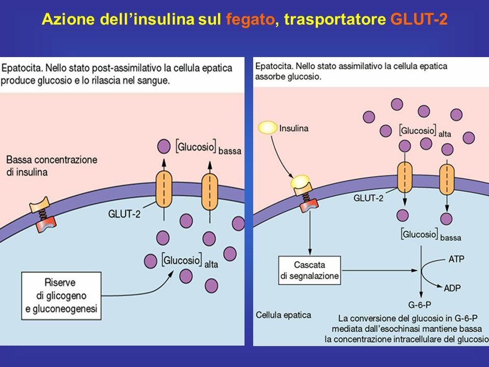 28 Azione dell'insulina sul fegato, trasportatore GLUT-2