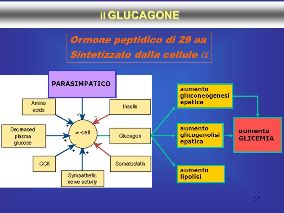 37 il GLUCAGONE Ormone peptidico di 29 aa Sintetizzato dalla cellule  PARASIMPATICO aumento gluconeogenesi epatica aumento glicogenolisi epatica aumento lipolisi aumento GLICEMIA