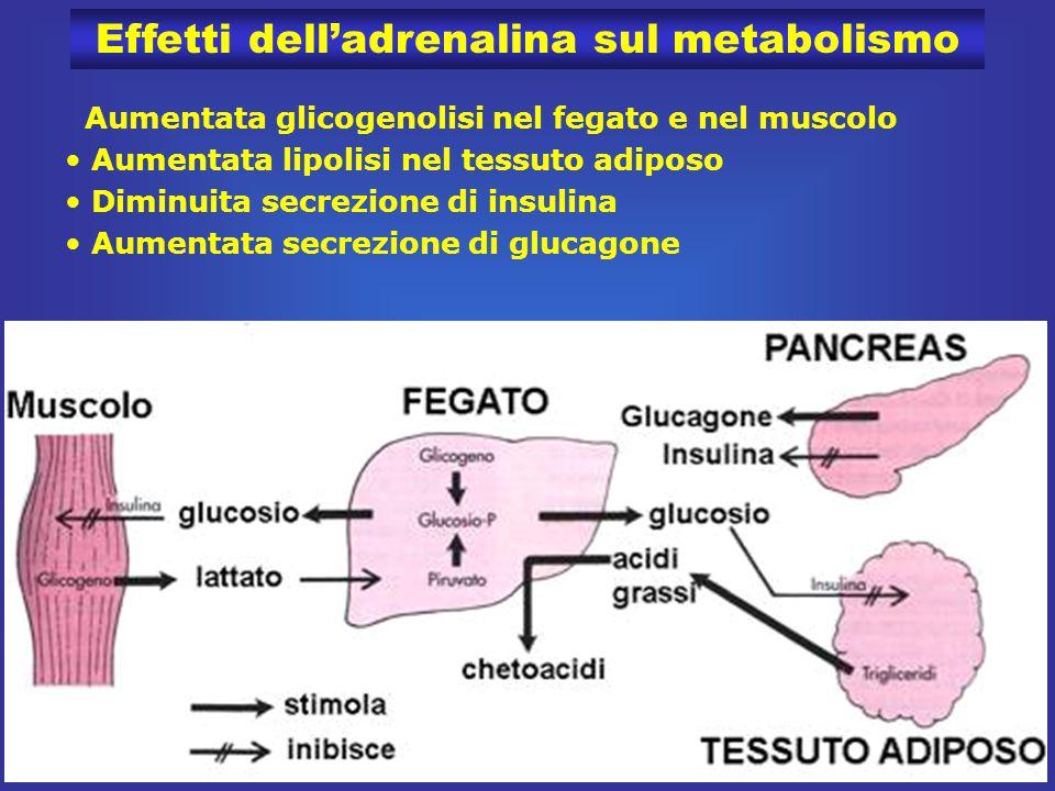 47 Effetti dell'adrenalina sul metabolismo Aumentata glicogenolisi nel fegato e nel muscolo Aumentata lipolisi nel tessuto adiposo Diminuita secrezione di insulina Aumentata secrezione di glucagone