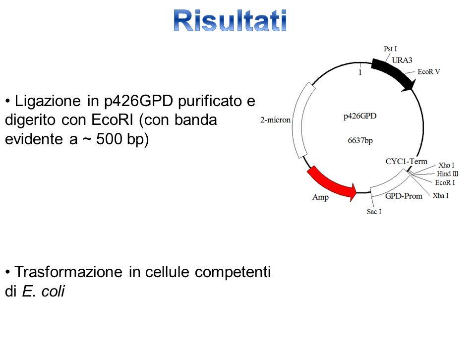 Ligazione in p426GPD purificato e digerito con EcoRI (con banda evidente a ~ 500 bp) Trasformazione in cellule competenti di E. coli