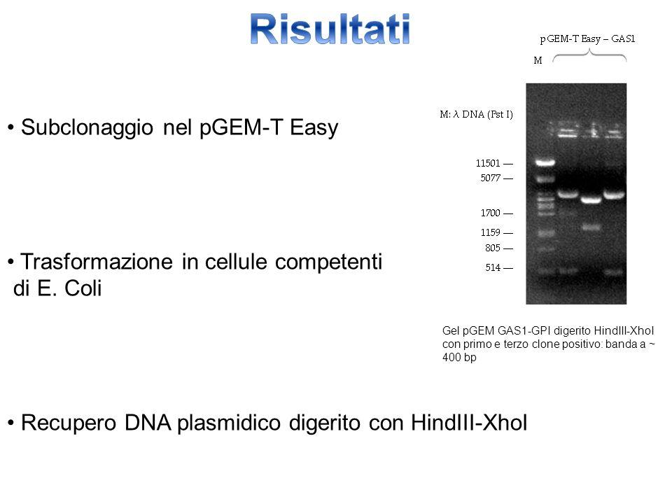 Subclonaggio nel pGEM-T Easy Trasformazione in cellule competenti di E. Coli Recupero DNA plasmidico digerito con HindIII-XhoI Gel pGEM GAS1-GPI diger
