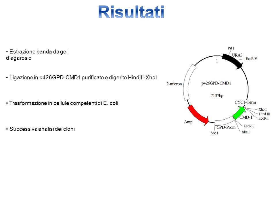 Estrazione banda da gel d'agarosio Ligazione in p426GPD-CMD1 purificato e digerito HindIII-XhoI Trasformazione in cellule competenti di E. coli Succes