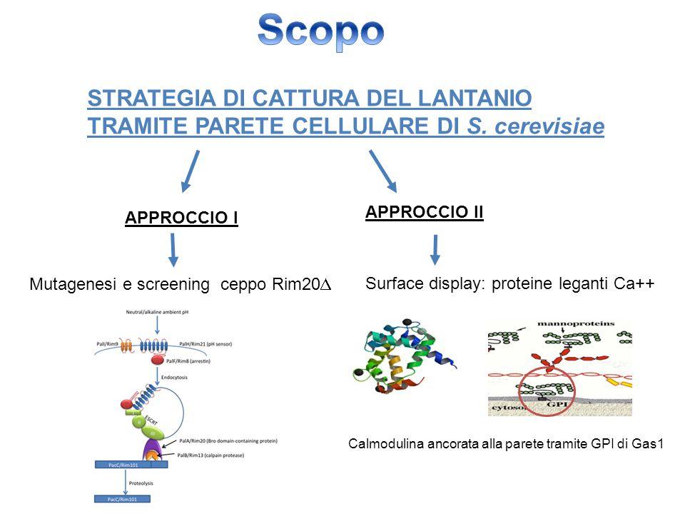 STRATEGIA DI CATTURA DEL LANTANIO TRAMITE PARETE CELLULARE DI S. cerevisiae APPROCCIO I APPROCCIO II Mutagenesi e screening ceppo Rim20  Surface disp