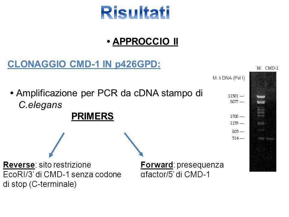 APPROCCIO II CLONAGGIO CMD-1 IN p426GPD: Amplificazione per PCR da cDNA stampo di C.elegans PRIMERS M: λ DNA (Pst I) Forward: presequenza αfactor/5' d