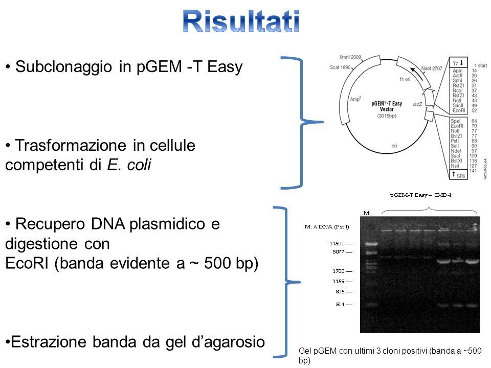 Subclonaggio in pGEM -T Easy Trasformazione in cellule competenti di E. coli Recupero DNA plasmidico e digestione con EcoRI (banda evidente a ~ 500 bp