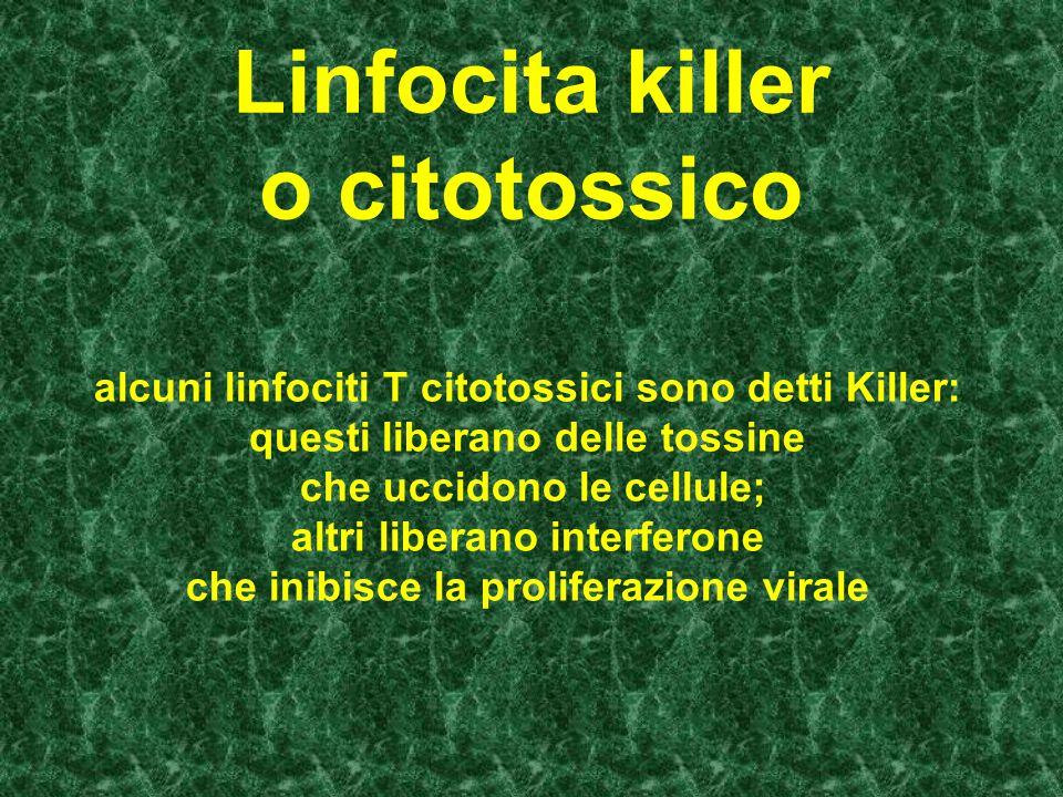 Linfocita killer o citotossico alcuni linfociti T citotossici sono detti Killer: questi liberano delle tossine che uccidono le cellule; altri liberano interferone che inibisce la proliferazione virale