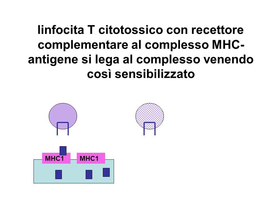 linfocita T citotossico con recettore complementare al complesso MHC- antigene si lega al complesso venendo così sensibilizzato MHC1
